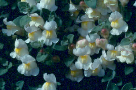 Antirrhinum molle white form