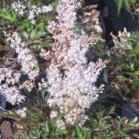 Astilbe 'Willie Buchanan'