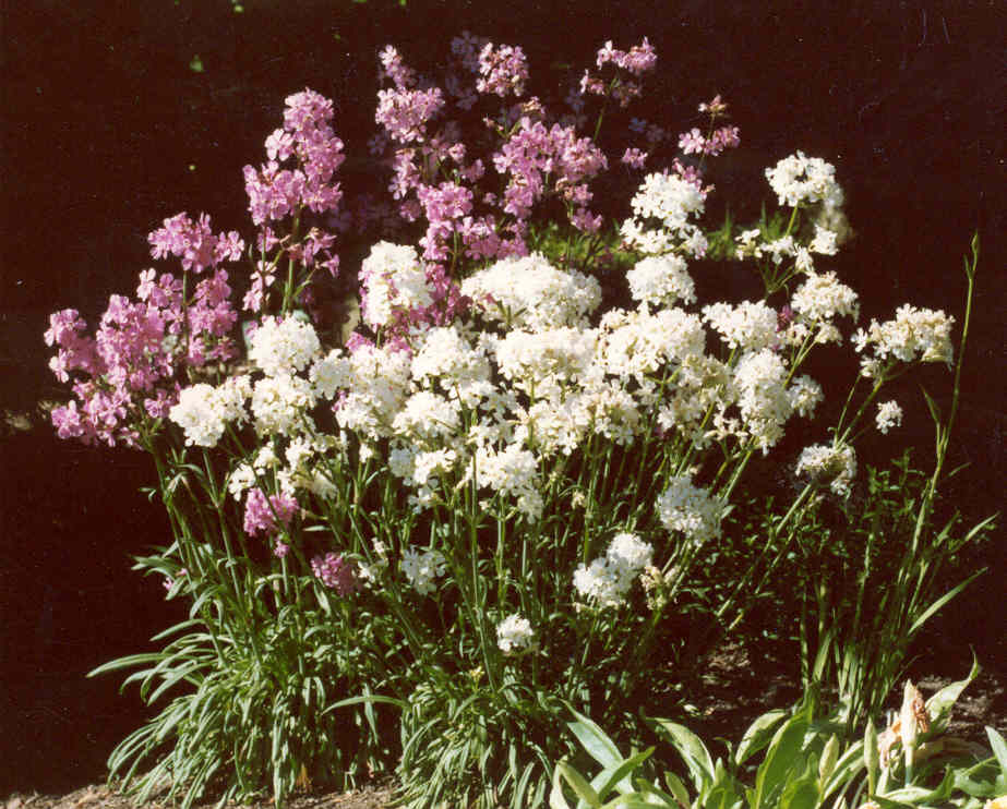 Lychnis yunnanensis pink and white forms