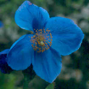 Meconopsis 'Lingholm' (Fertile Blue Group)