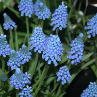 Muscari aucheri 'Blue Magic'