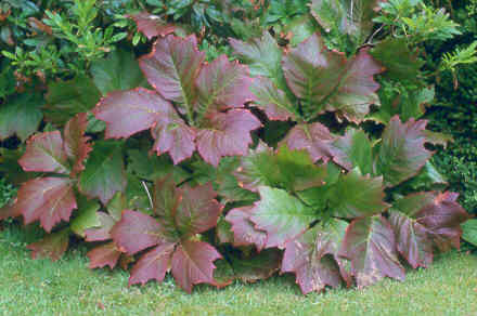 Rodgersia podophylla autumn foliage