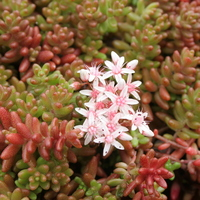Sedum album `Coral Carpet`
