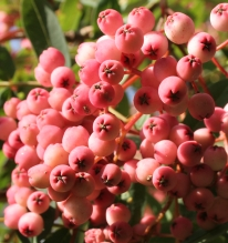 The pink fruit of Sorbus carmesina