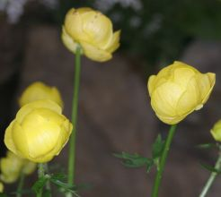 Trollius xcultorum 'Lemon Queen'