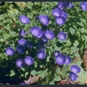 Picture for category Campanula