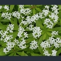 Picture for category Galium