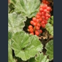 Picture for category Gunnera