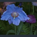 Picture for category Meconopsis