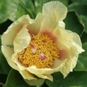 Picture for category Paeonia