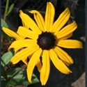 Picture for category Rudbeckia