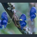Picture for category Aconitum