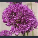 Picture for category Allium - large varieties