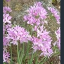 Picture for category Allium - small varieties