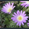 Picture for category Anemone blanda varieties