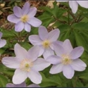 Picture for category Anemone nemorosa varieties