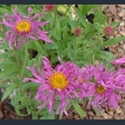 Picture for category Aster - alpine varieties