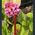 Picture for category Bergenia