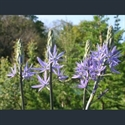 Picture for category Camassia
