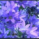 Picture for category Campanula - large varieties