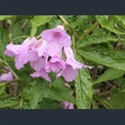 Picture for category Cardamine