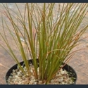 Picture for category Carex