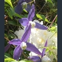 Picture for category Clematis