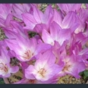 Picture for category Colchicum other than autumnale