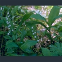 Picture for category Convallaria