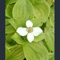 Picture for category Cornus