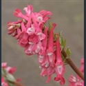 Picture for category Corydalis - bulbous
