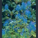 Picture for category Corydalis - herbaceous