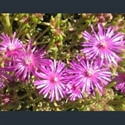 Picture for category Delosperma