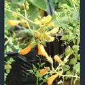 Picture for category Eccremocarpus
