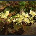Picture for category Epimedium