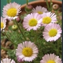 Picture for category Erigeron