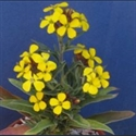 Picture for category Erysimum