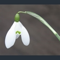 Picture for category Galanthus