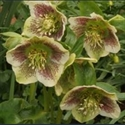 Picture for category Helleborus