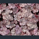 Picture for category Heuchera