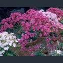 Picture for category Lewisia columbiana varieties