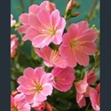 Picture for category Lewisia cotyledon and varieties