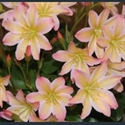 Picture for category Lewisia tweedyi varieties