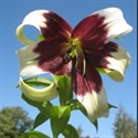 Picture for category Lilium species