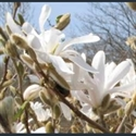 Picture for category Magnolia