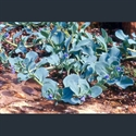 Picture for category Mertensia