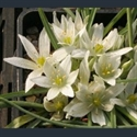 Picture for category Ornithogalum
