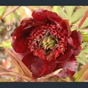 Picture for category Paeonia - tree varieties