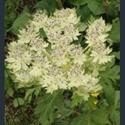 Picture for category Pleurospermum