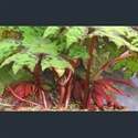 Picture for category Podophyllum